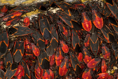Stages of boxelder bugs