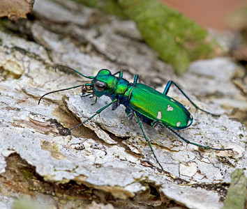 Green tiger beetles are very common on woodland paths through the woods each spring.