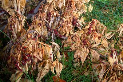 Masses of box elder bogs prepare for winter