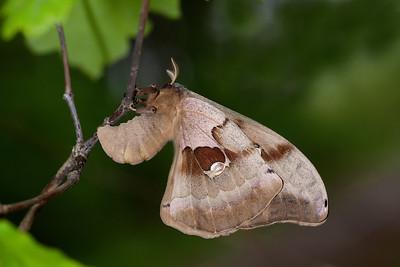 Polyphemus moth laying eggs