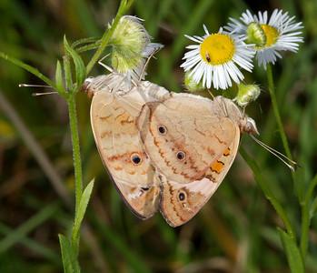 Mating buckeye butterflies on fleabane