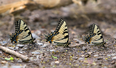 Male tiger swallowtails puddling