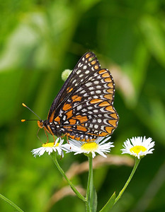 Baltimore checkerspot butterflies are very local in distribution and inhabit various wetlands.