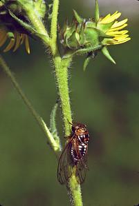Prairie cicada on compass plant