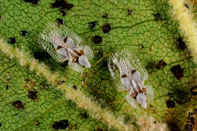 Lace bugs on underside of sycamore leaf