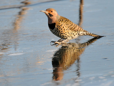 The following day the two flickers were there again for a sip. This time they poked a hole in the ice