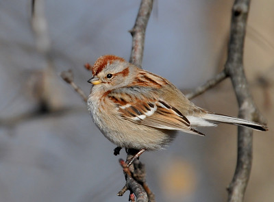 a Tree Sparrow