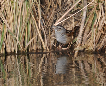Swamp Sparrow in this cold winter at Weaver park.
