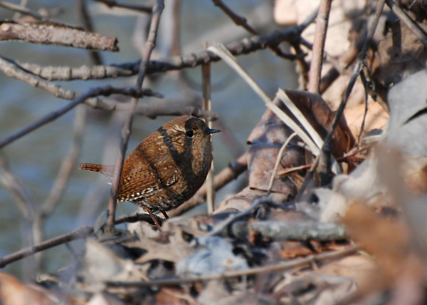 winter wren, Robeson trail
