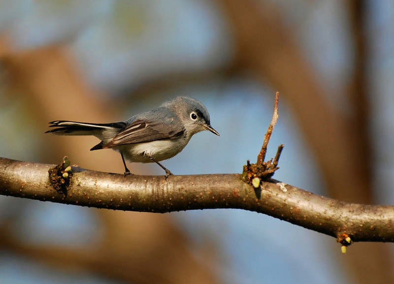 Blue-gray Gnatcatcher, Roby trail, Champaign, April 23