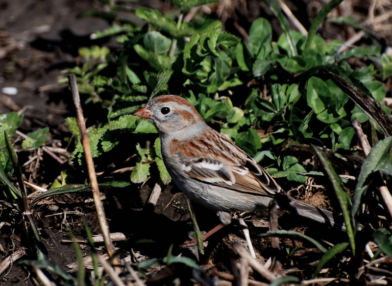 field sparrow, Buffalo trace