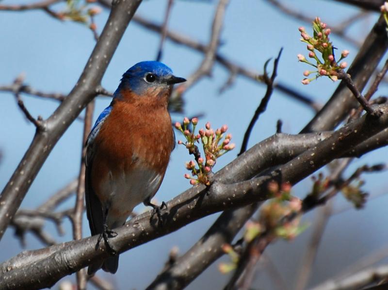 male bluebird, Buffalo trace
