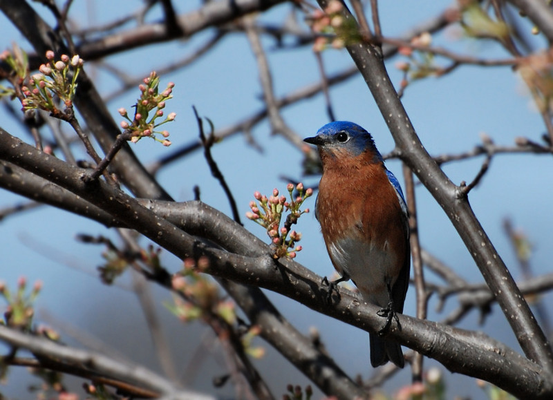 male bluebird, Buffalo trace