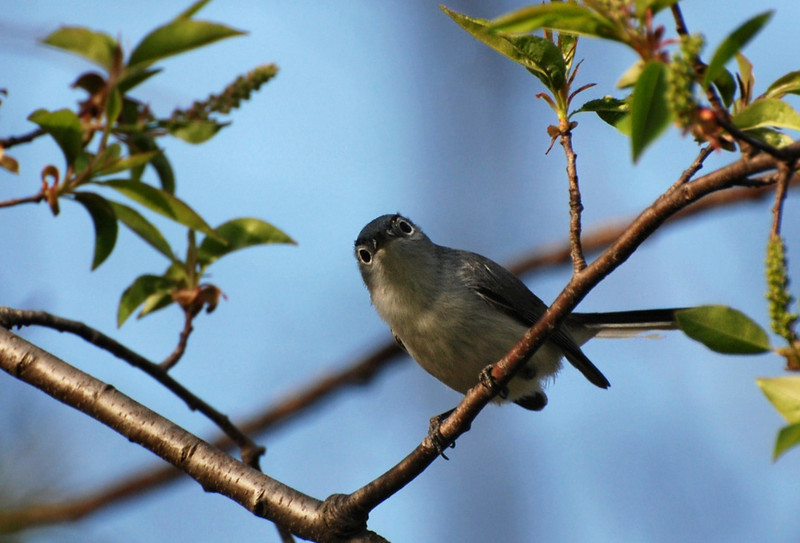 Blue-gray Gnatcatcher, Robeson trail, Champaign, April 23