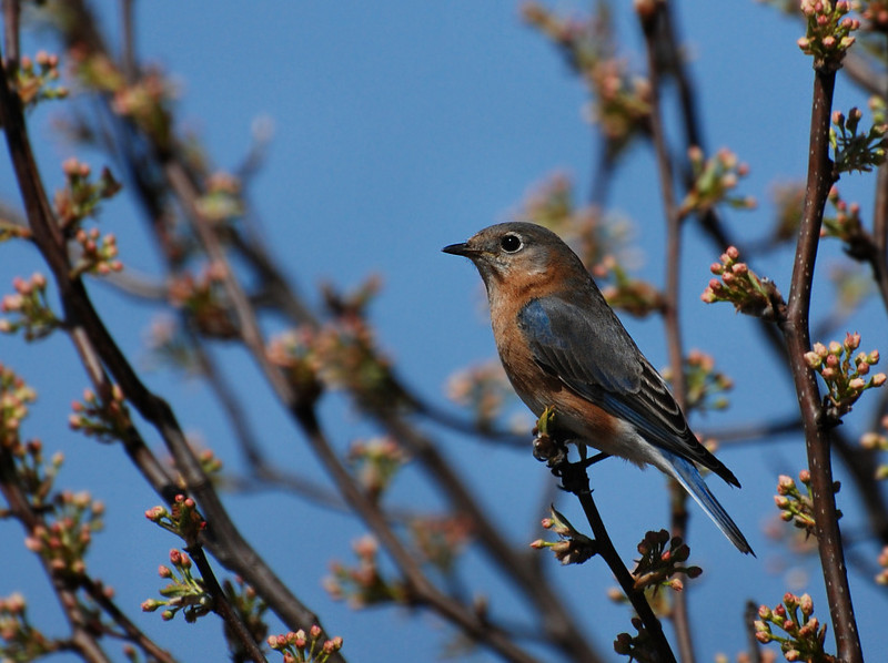 female bluebird, Buffalo trace