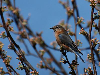 female bluebird, Buffalo trace