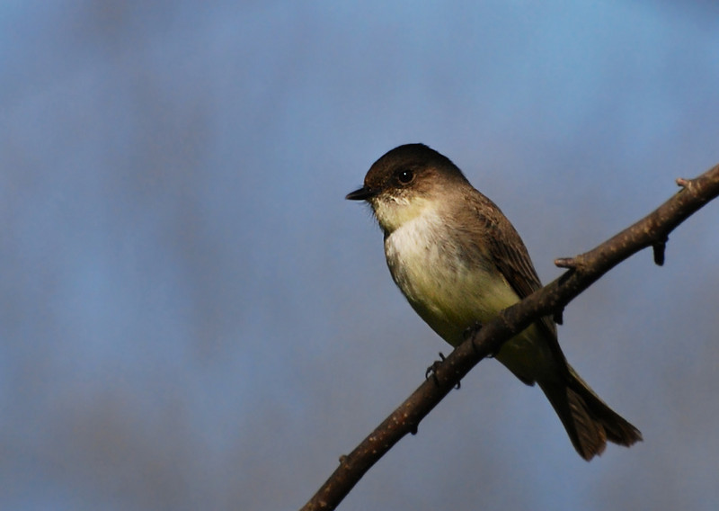 eastern phoebe, Robeson trail