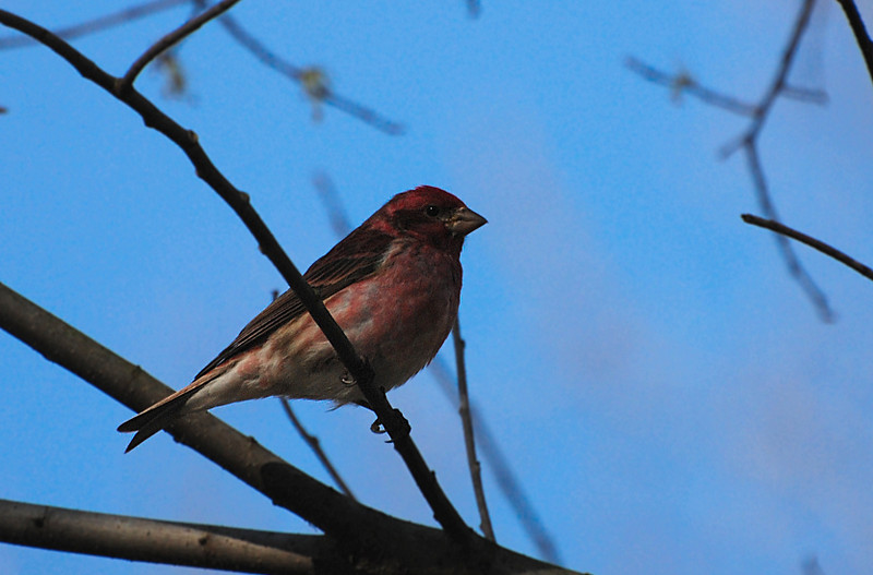 purple finch, Robeson trail