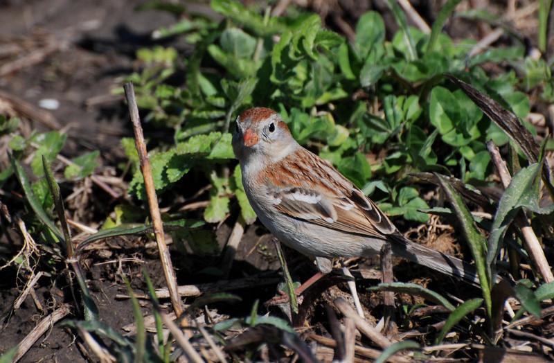 field sparrow, Buffalo trace