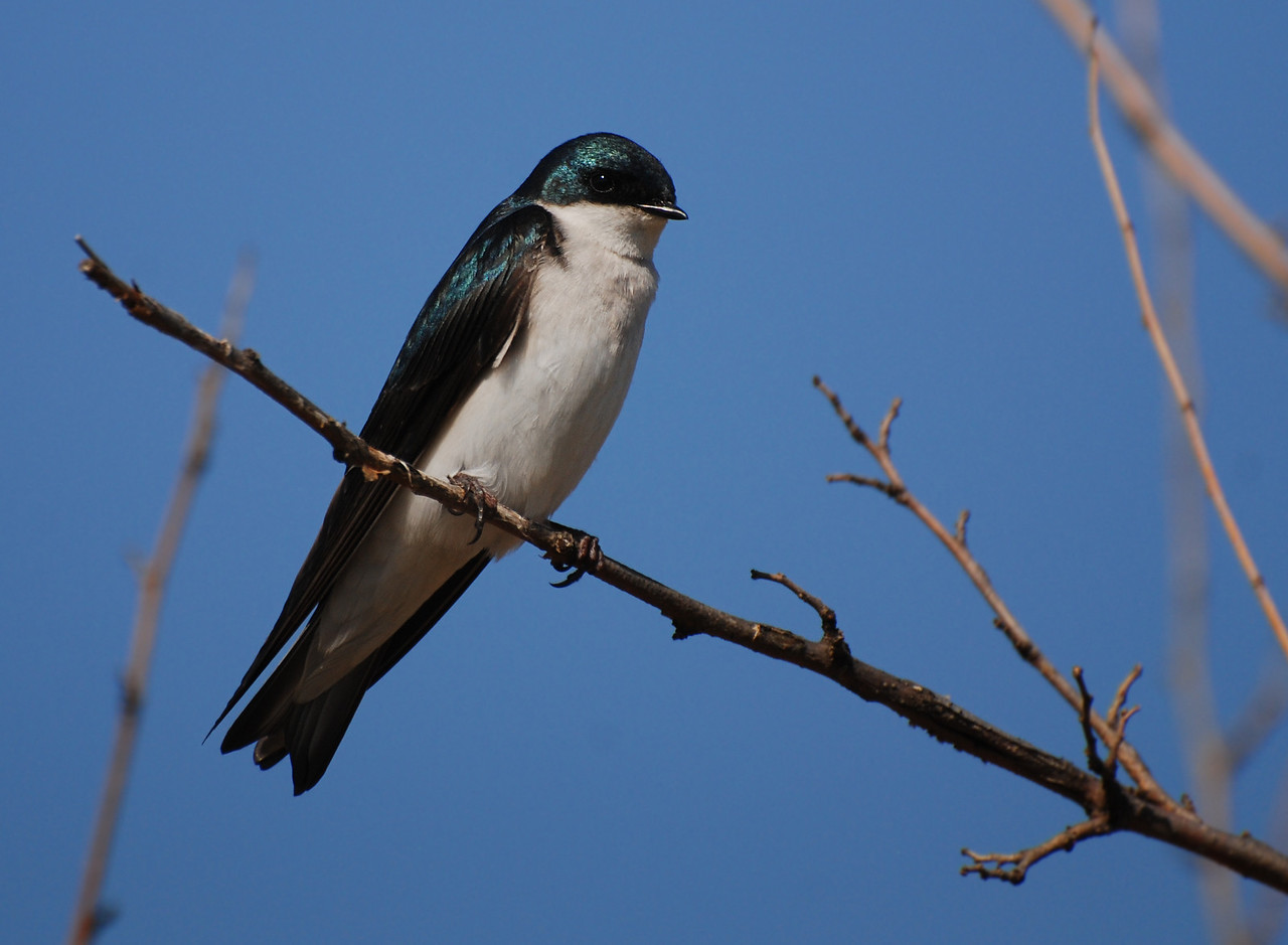 tree  swallow, Buffalo trace