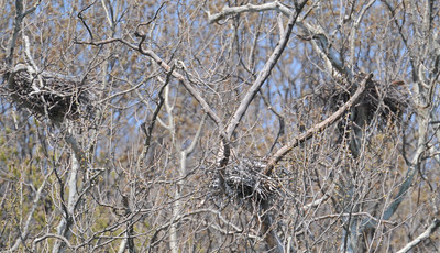 The third nest in the rookery is ocupied by a red-tailed hawk. Heron Park April 10, 2010