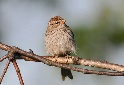 a young field sparrow