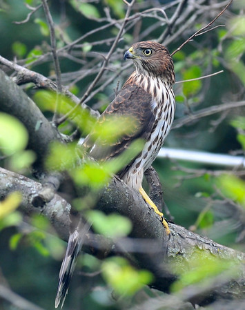 Saturday afternoon backyard visitor; juvenile sharp-shinned hawk; August 22, 2009