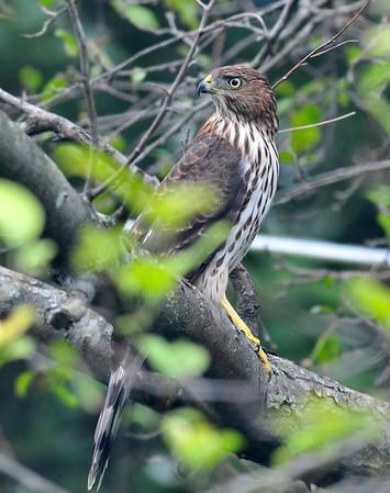 Saturday afternoon backyard visitor; juvenile sharp-shinned hawk; August 22, 2009