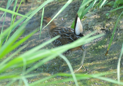 Sora Rail, Curtis wetland, south of road, August 8, 2009