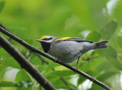 Golden-winged warbler, Forestry; August 30, 2009