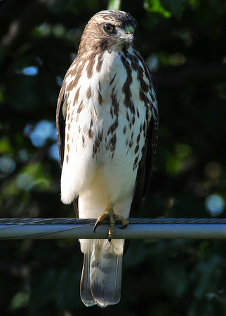This must be a juvenile Cooper'shawk? August 23, 8:30 am, Duncan close to I57 overpass.