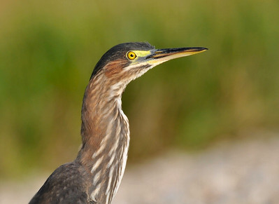 Green heron; Curtis and I74; August 30, 2009