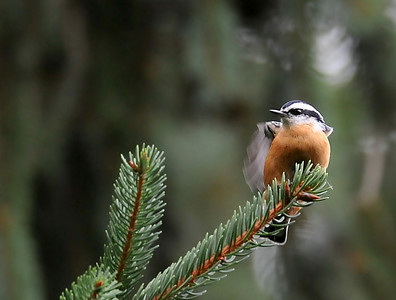two nuthatches showed up shortly
