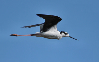 You may wish to check the original; Black-necked Stilt, Curtis, August 8, 2009