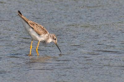 Lesser Yellowlegs, Curtis, August 8, 2009