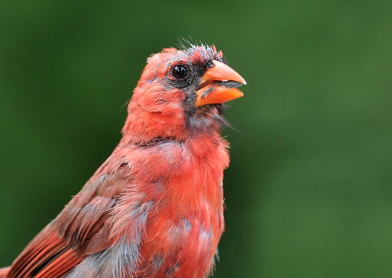 The cardinal is pretty beaten up at the end of the summer