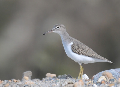 young spotted sandpiper; thank you, Holger