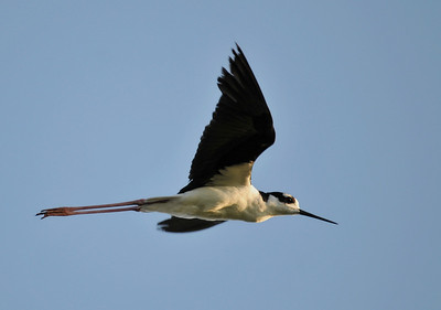 Black-necked stilt; August 2, 2009