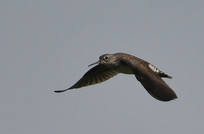 Solitary Sandpiper; Thank you, Holger.