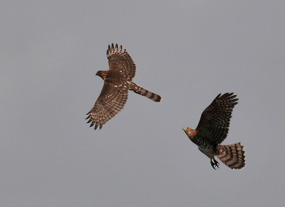 Cooper's hawks playing ot fighting?