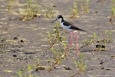 Black-necked Stilt, Curtis, August 8, 2009