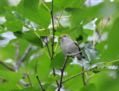 Chestnut-sided Warbler, first fall, Forestry; August 30, 2009