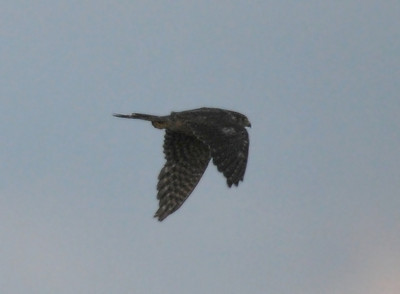 Opinion is converging that this might be an adult Merlin; August 21, 2009