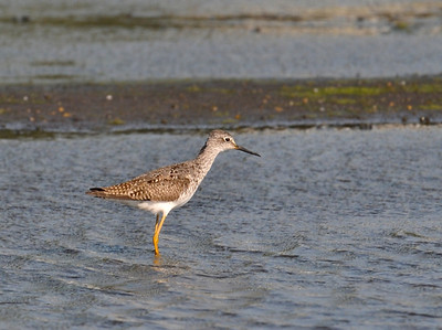 Lesser Yellowlegs, Curtis, August 8, 2009