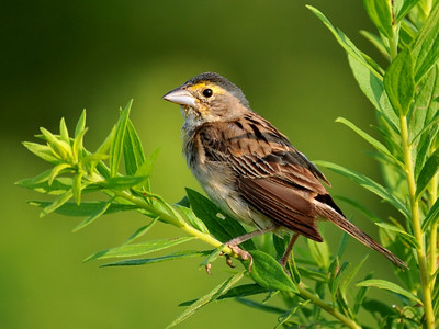 Female Dickcissel; Buffalo Trace, August 2, 2009