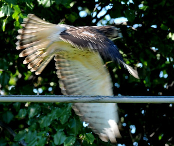 This must be a juvenile Cooper's hawk?? August 23, 8:30 am, Duncan close to I57 overpass.