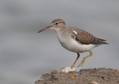 young spotted sandpiper
