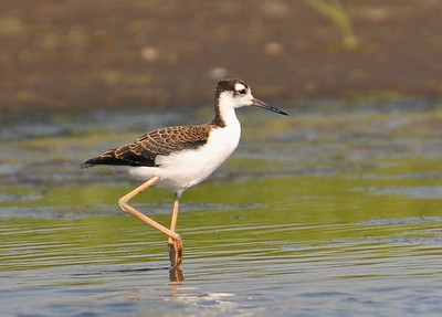 Immature Stilt, Curtis, August 8, 2009