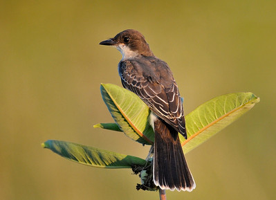 The family of Kingbirds is still living in the prairie at the southeast corner of First and Windsor; August 24, 2009