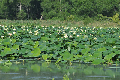 The water lilies, however, are in full bloom and very beautiful.